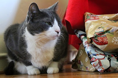Grey and white cat with Christmas presents