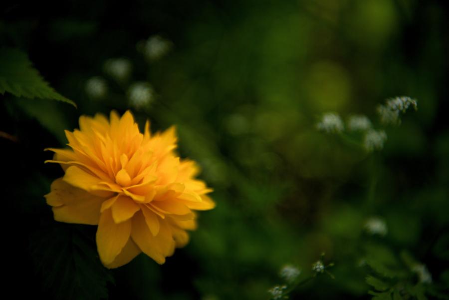 大乗寺丘陵公園に咲いている八重山吹(ヤエヤマブキ)