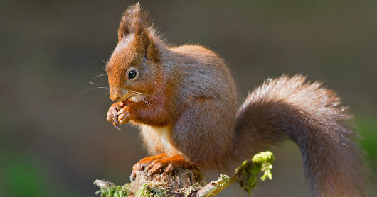 Red Squirrel - 10 Years On