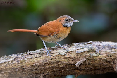 Hoaey throated Spinetail