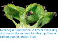 http://sciencythoughts.blogspot.co.uk/2016/10/ceropegia-sandersonii-flower-mimicking.html