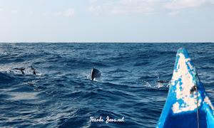wisata mencari dolphin di teluk kiluan