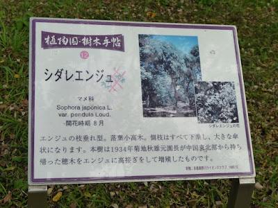 【京都府】京都府立植物園  シダレエンジュ