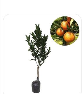 Jual bibit buah jeruk Primong