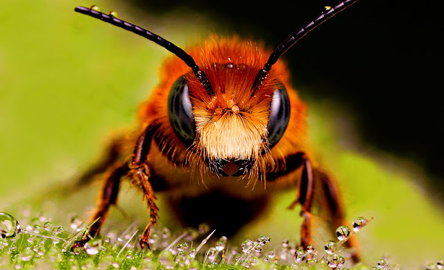 Honey Bee - Facts, information and pictures 3