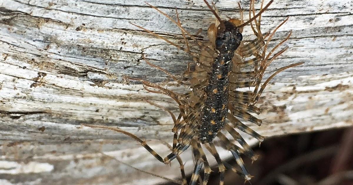 mobugs house centipede