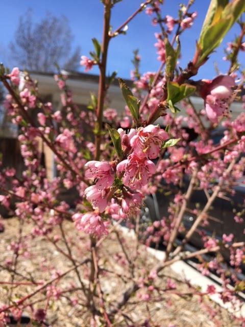 Spring peach blossums