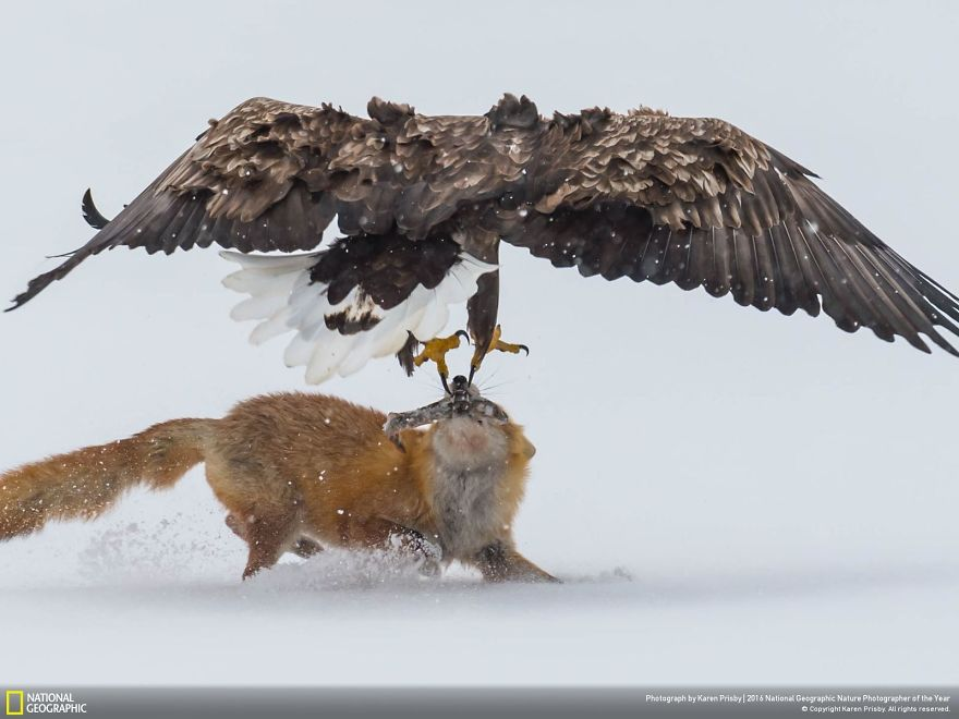 20+ Of The Best Entries From The 2016 National Geographic Nature Photographer Of The Year - Confrontation