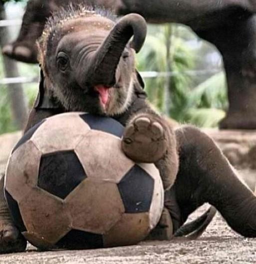 gajah kecil main bola