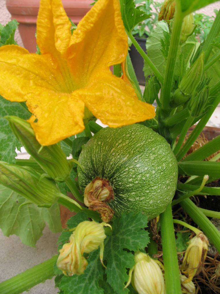Coltivare Lamponi In Vaso la magia di un piccolo orto: zucchini in vaso e lamponi