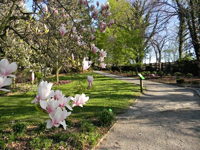 kwiaty magnolii pięknie rozwijają się wzdłuż dróg arboretum
