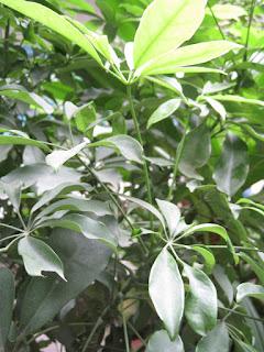 Kĩ thuật chăm sóc và trồng cây Ngũ Gia Bì