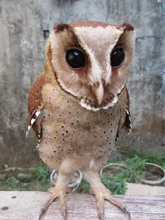 burung hantu oriental bay owl, jenis burung hantu yang mudah dipelihara