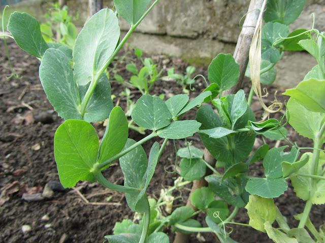 Pisum sativum orto
