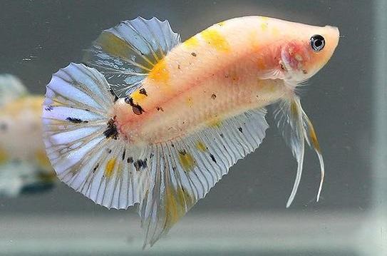 Warna Dasar Ikan Cupang Yellow Koi - Ikanhiasku.net
