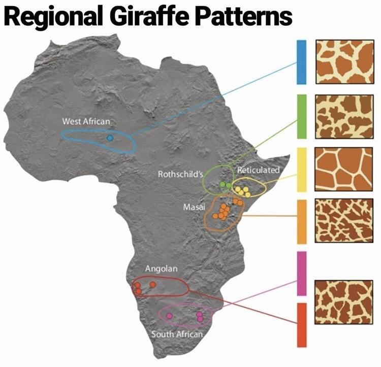 Regional Giraffe Patterns