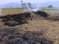 Inilah 5 Dampak Dari Pembakaran Jerami yang Perlu Diketahui