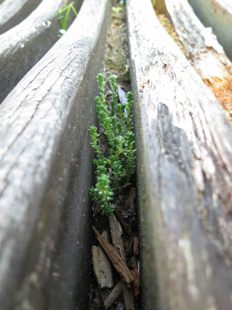 Small, green succulent growing between wooden slats of bench