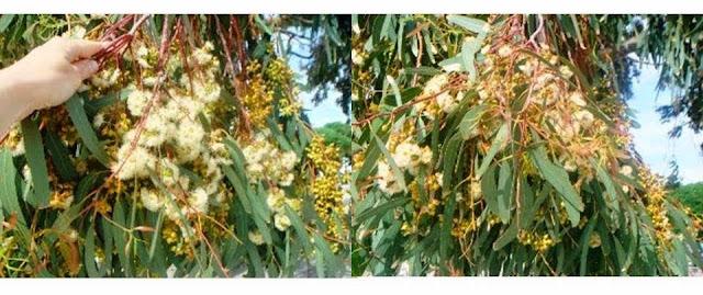 pokrywa kwiatowa kwitnącego eukaliptusa