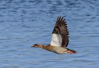 Birds in Flight Photography Shoot @ Woodbridge Island