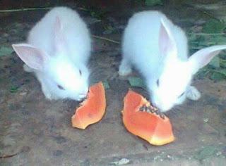 Makanan Kelinci Umur 2 Bulan atau 3 Bulan