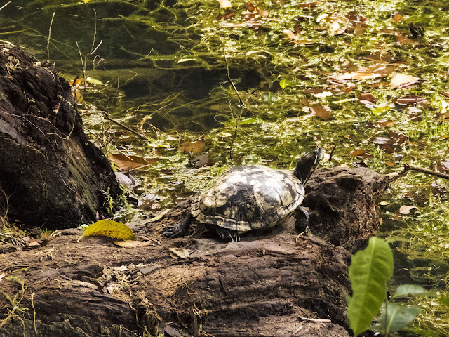 Turtle at MacRitchie Reservoir in Singapore
