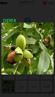на ветке дерева растут орехи