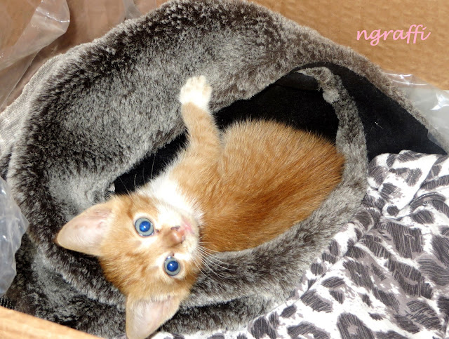 Cats, cute cats, kittens, kitty, hello, brown, blue eyes, little cat, pets