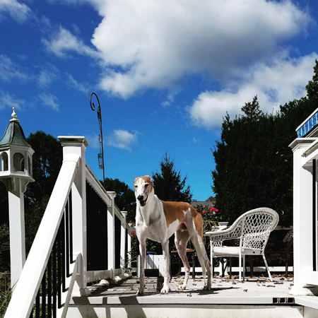 image of Dudley the Greyhound standing at the top of the deck stairs, squinting into the bright sunshine