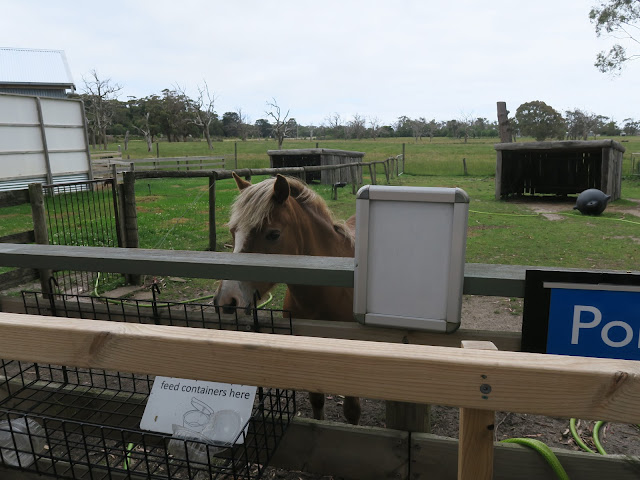 Pony!  Maru Koala and Animal Park, melbourne, australia
