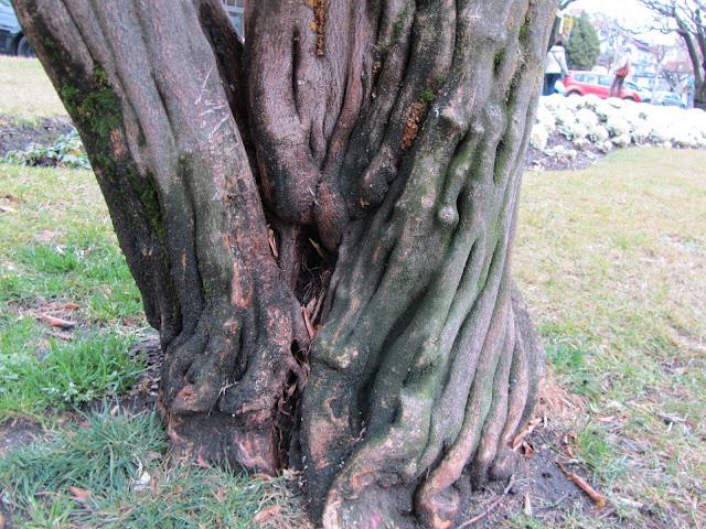 Vecchio Tronco Poncirus trifoliata