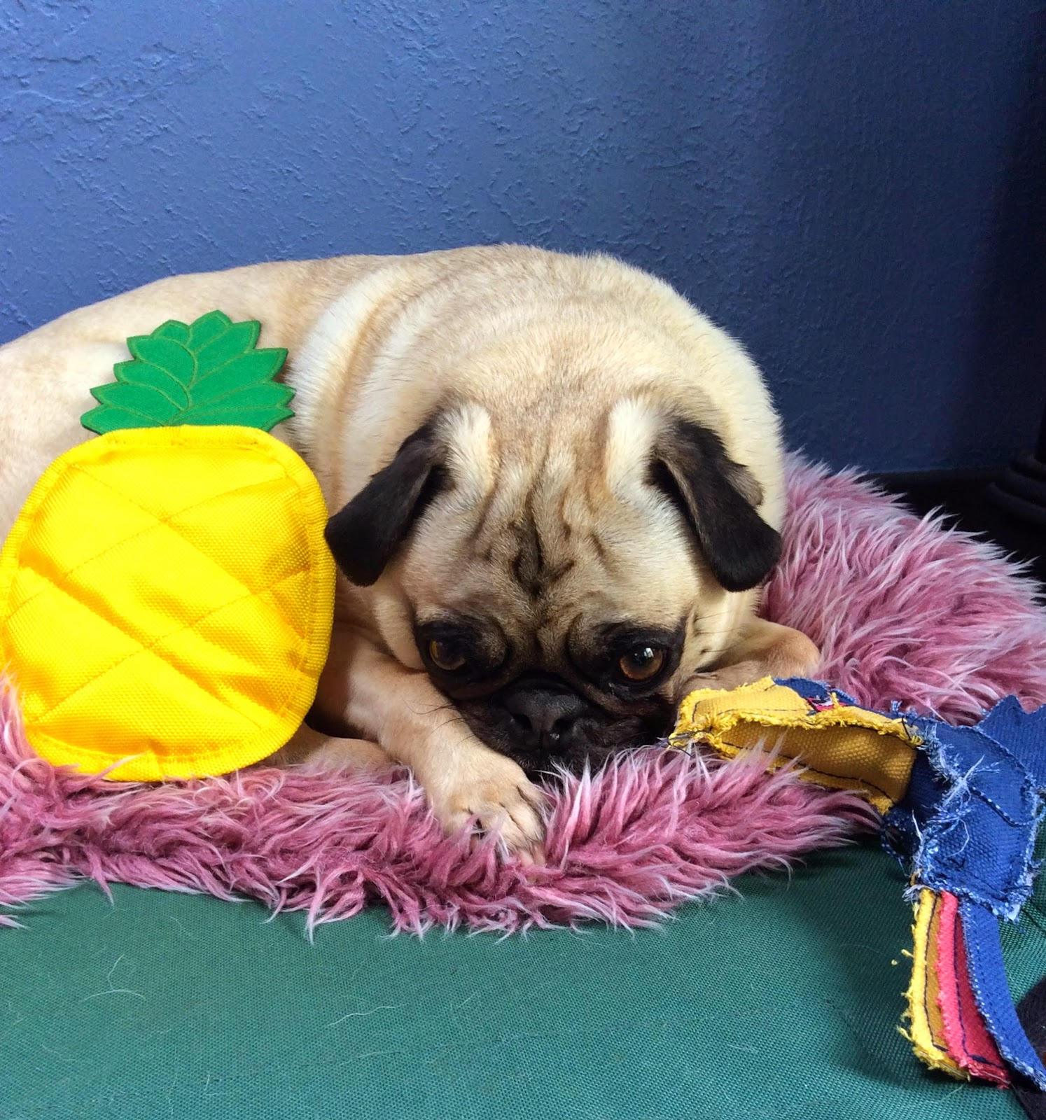 Liam the pug posing with toys