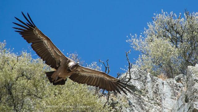 Apacible vuelo de buitre leonado