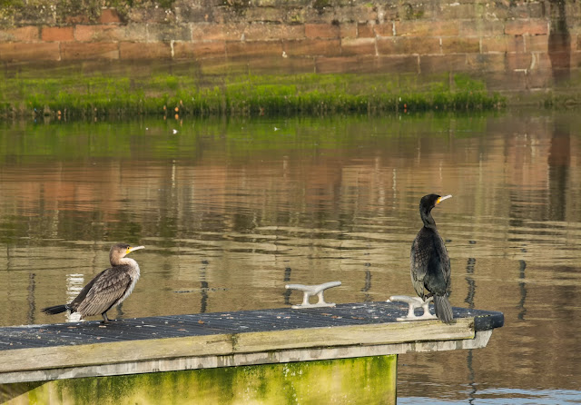 Photo of cormorants perched on one of the finger pontoons at the marina