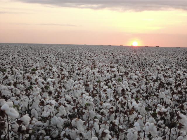 Plantação de algodão por do sol