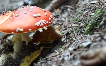 Wallpaper: Fly Agaric Fungus