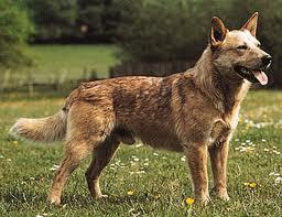 , Cara Mengobati Anjing Terpintar, Carles Pen, Carles Pen