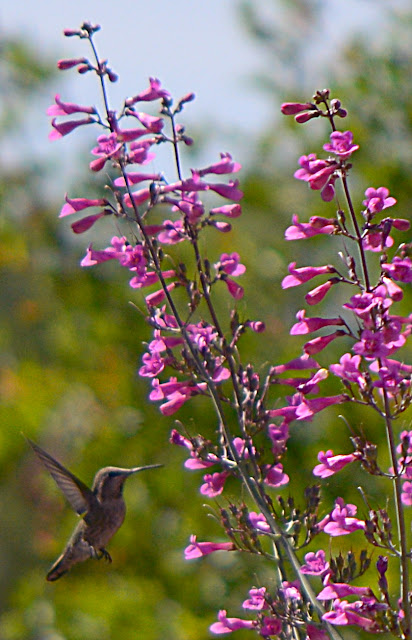 small sunny garden, desert garden, garden bloggers bloom day, amy myers, penstemon parryi, desert pentstemon, hummingbird, anna's