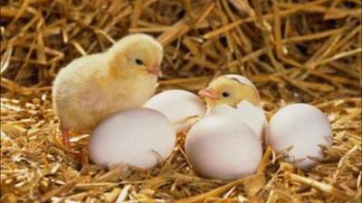 اخبار مفيدة | علماء ألمان germany يبتكرون تقنية تحدد جنس الكتكوت فى البيضة تجنبا لمذابح الديوك