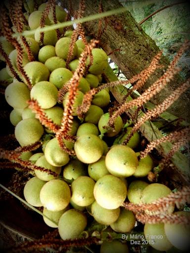 frutos Acrocomia aculeata