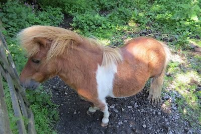 A dwarf pony, brown with a broad white stripe around its chest and back, and a long, softer brown mane.