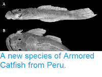 http://sciencythoughts.blogspot.co.uk/2013/06/a-new-species-of-armored-catfish-from.html