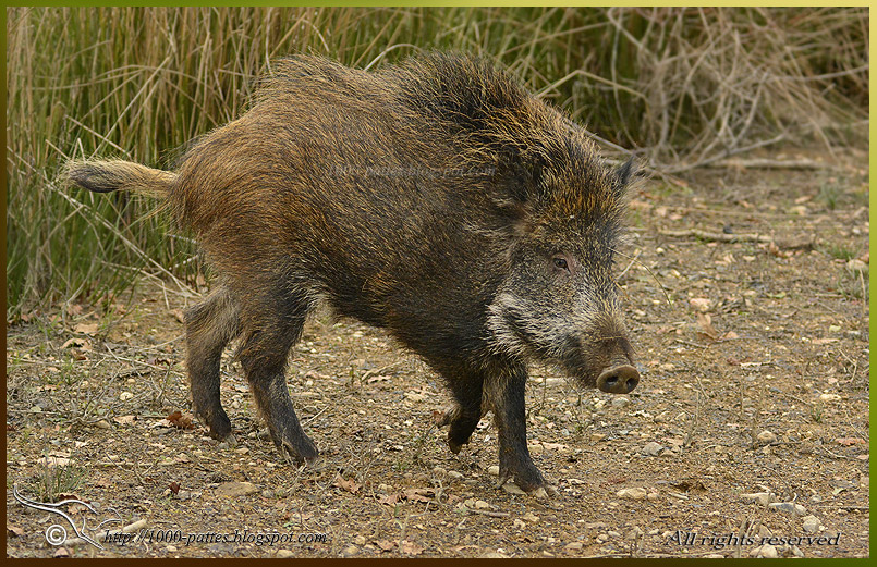 The European Wildboar