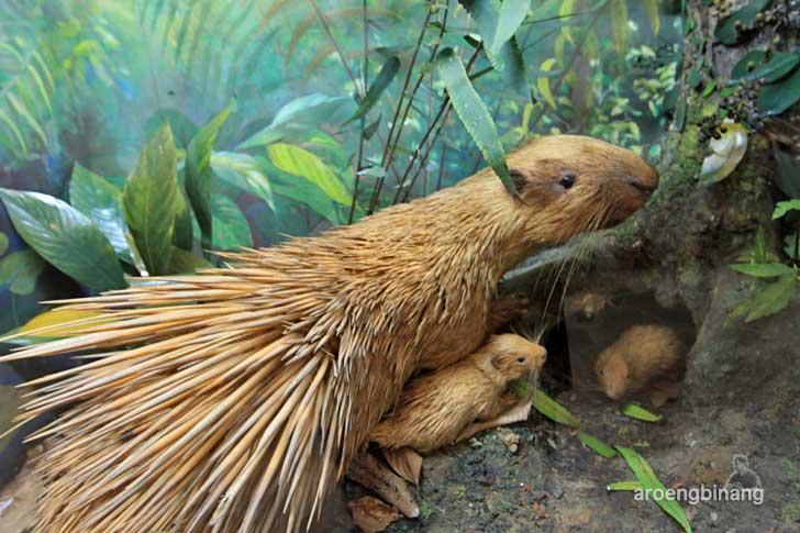landak museum zoologi bogor