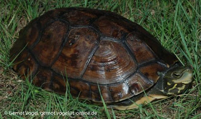 critically box Turtle