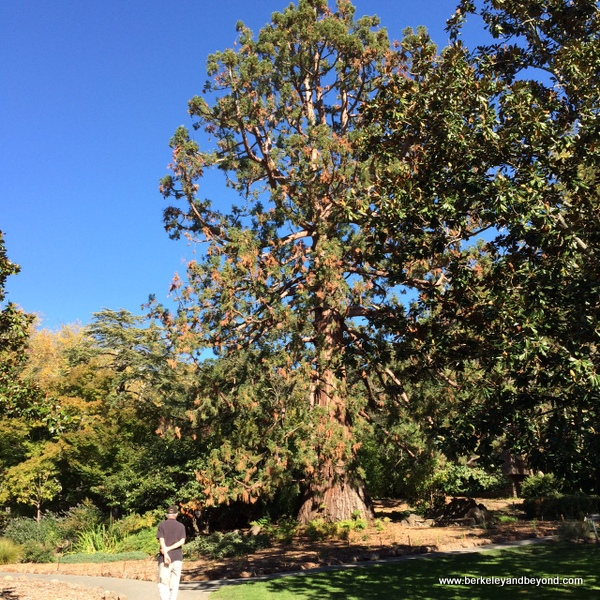 dawn redwood tree at Marin Art and Garden Center in Ross, California