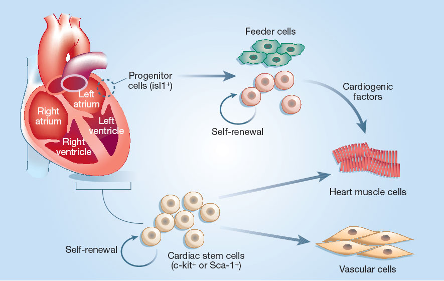 Stem Cell Reports