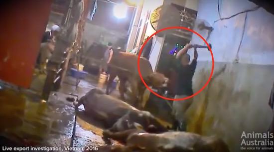 Kepala Lembu Dihentak Guna Tukul Besi Sebelum Dilapah