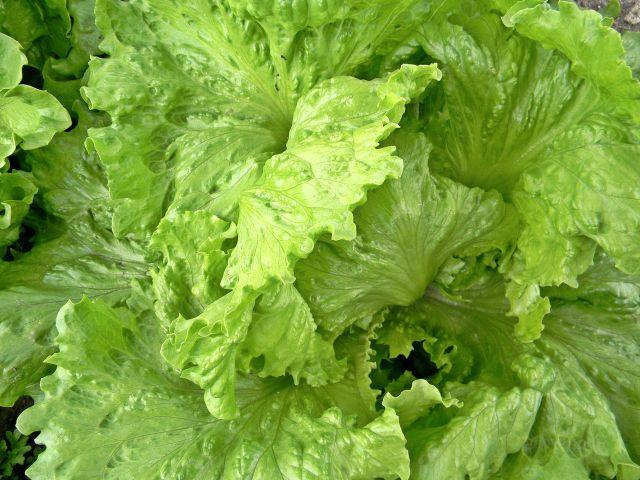warzywa, sałata, rośliny uprawne, działka