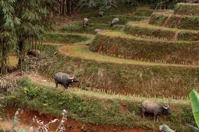 Búfalos en las terrazas de arroz de Sapa